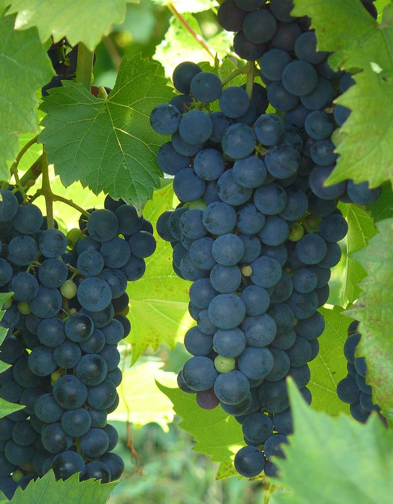 Wine Grapes Presale Reservation: Marquette