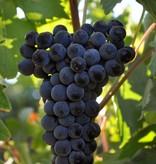 Wine Grapes Presale Reservation: Tempranillo