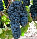 Wine Grapes Presale Reservation: Primitivo