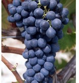Wine Grapes Presale Reservation: Syrah