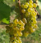 Wine Grapes Presale Reservation: Viognier