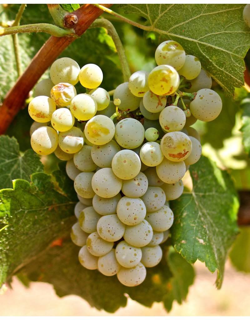 Wine Grapes Presale Reservation: Albariño