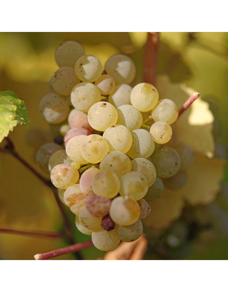 Wine Grapes Presale Reservation: Riesling
