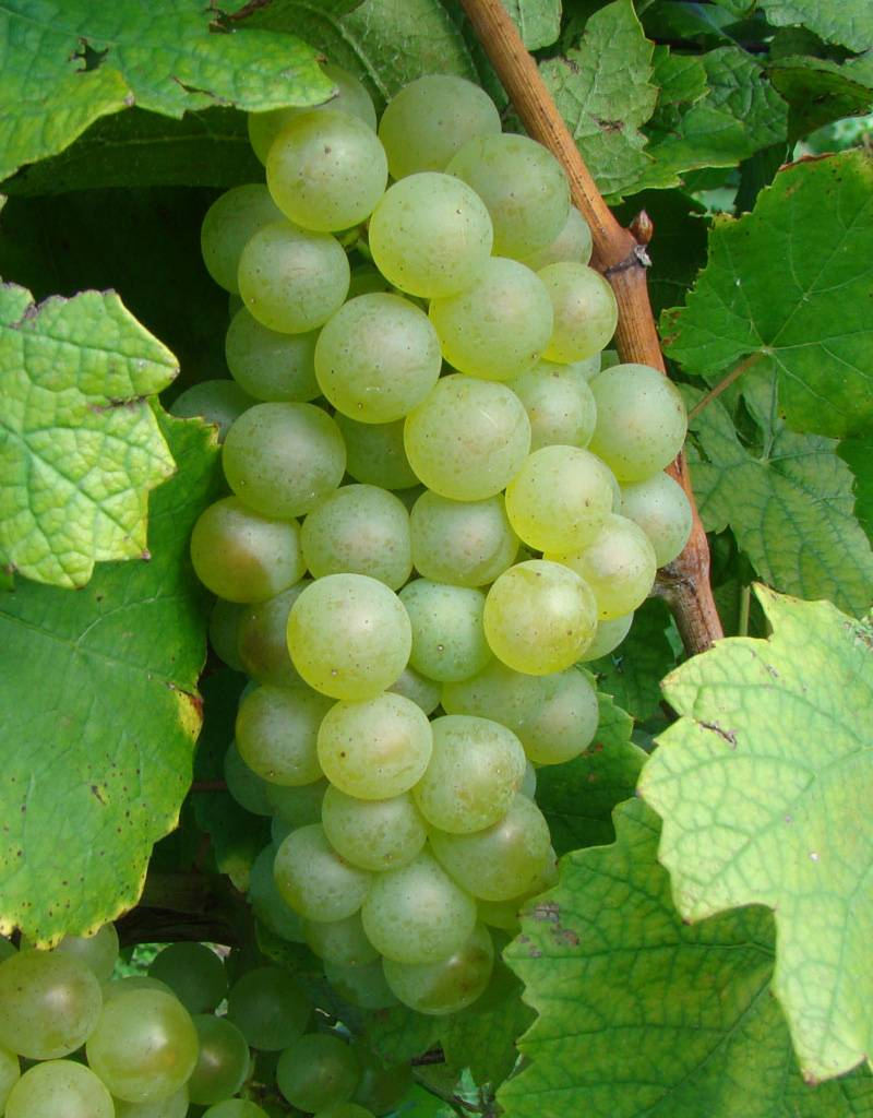 Wine Grapes Presale Reservation: Chardonnay