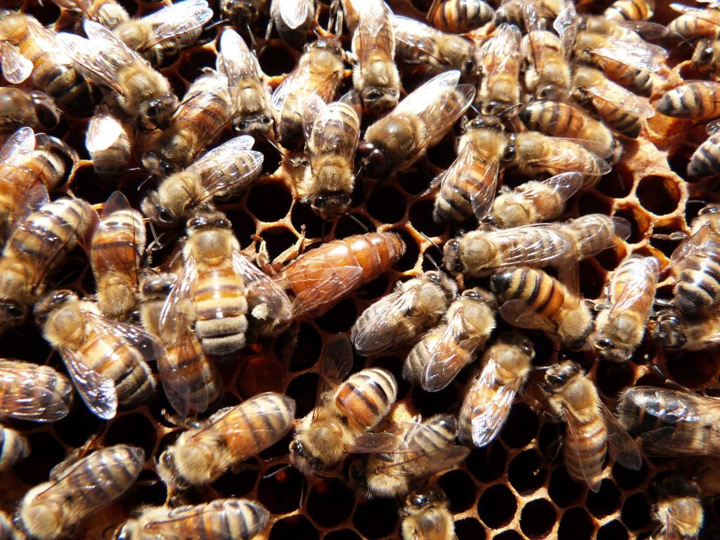 Deep Nucleus Colony of Honey Bees