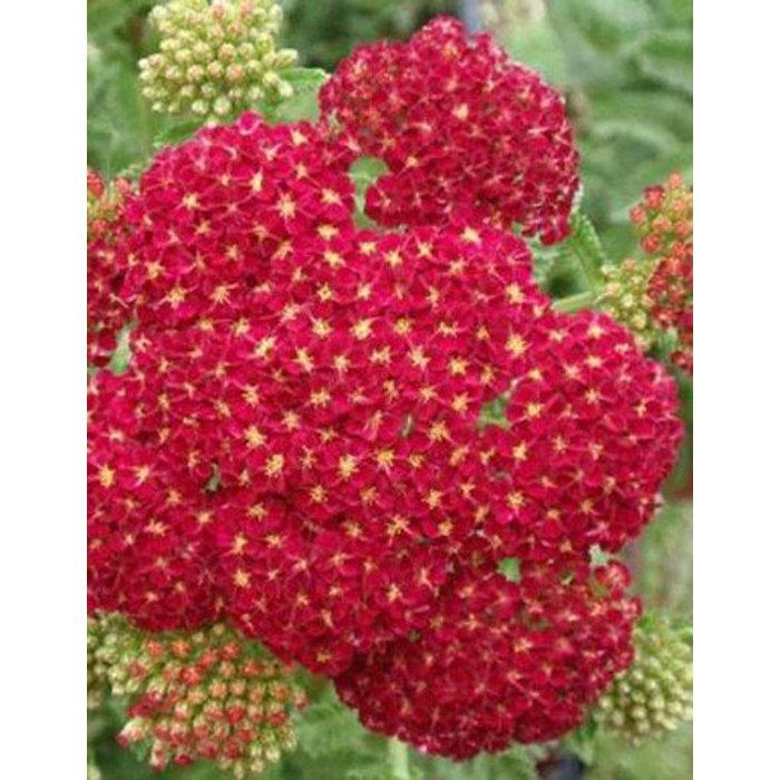Achillea Red Velvet 1