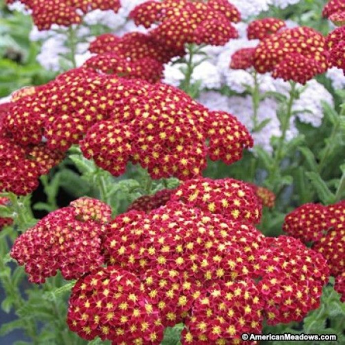 Achillea Strawberry Seduction Qt
