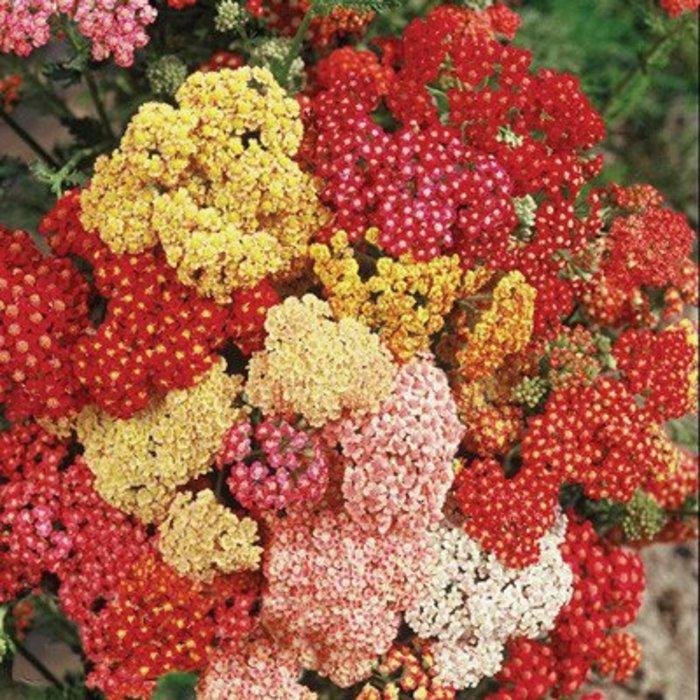 Achillea Summer Berries 1