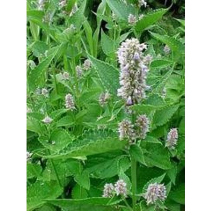 Agastache Blue Fortune 1
