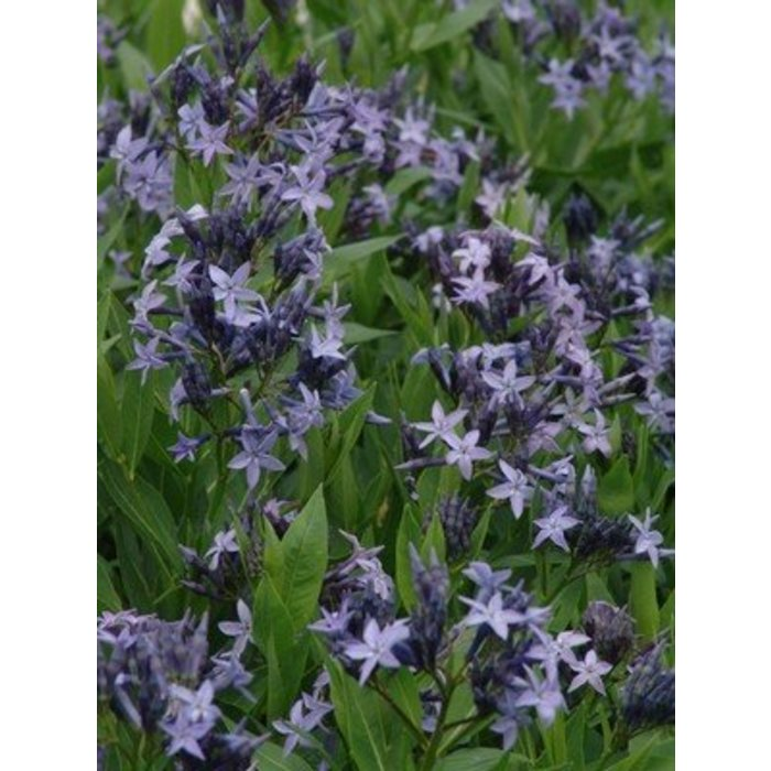Amsonia Blue Ice 1