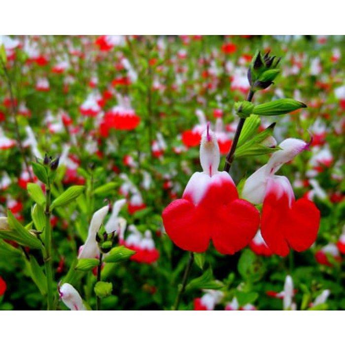 Salvia greggii Hot Lips 1
