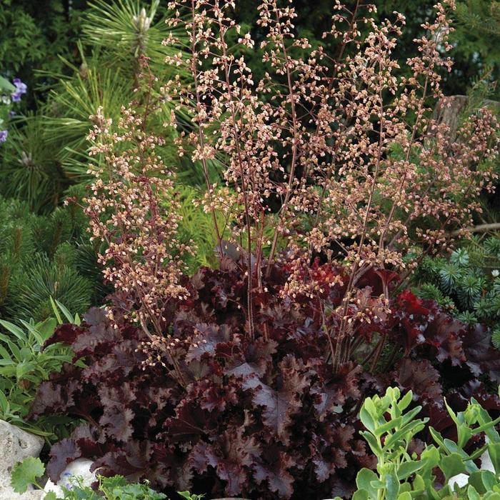 Heuchera Melting Fire 1