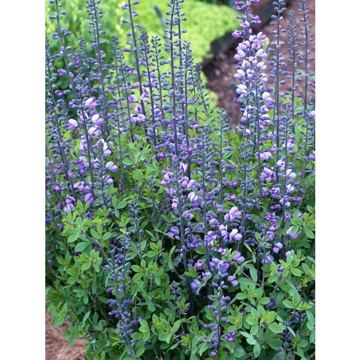 Baptisia Purple Smoke 1
