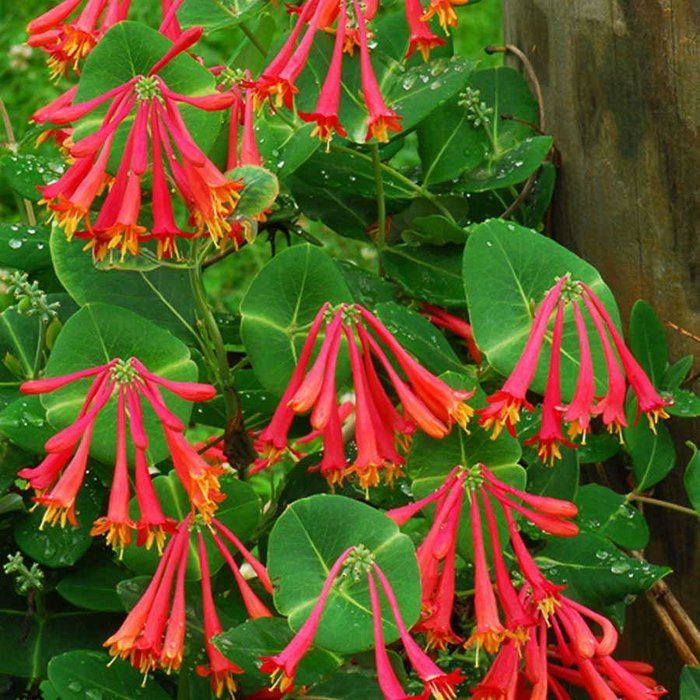 Lonicera Sempervirens Coral Honeysuckle 600