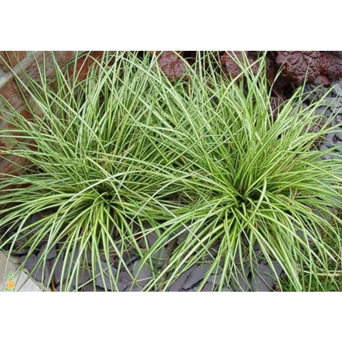 Carex Evergold 1
