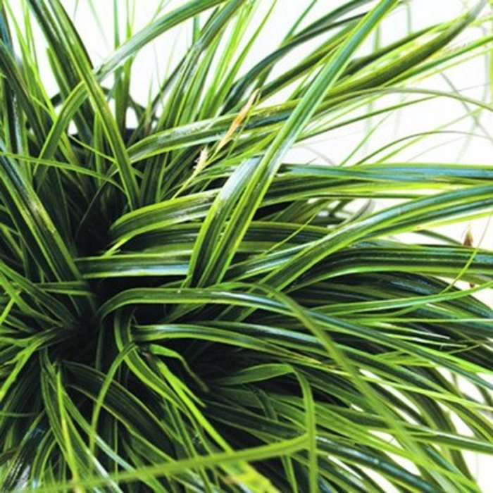 Carex Everlime 1