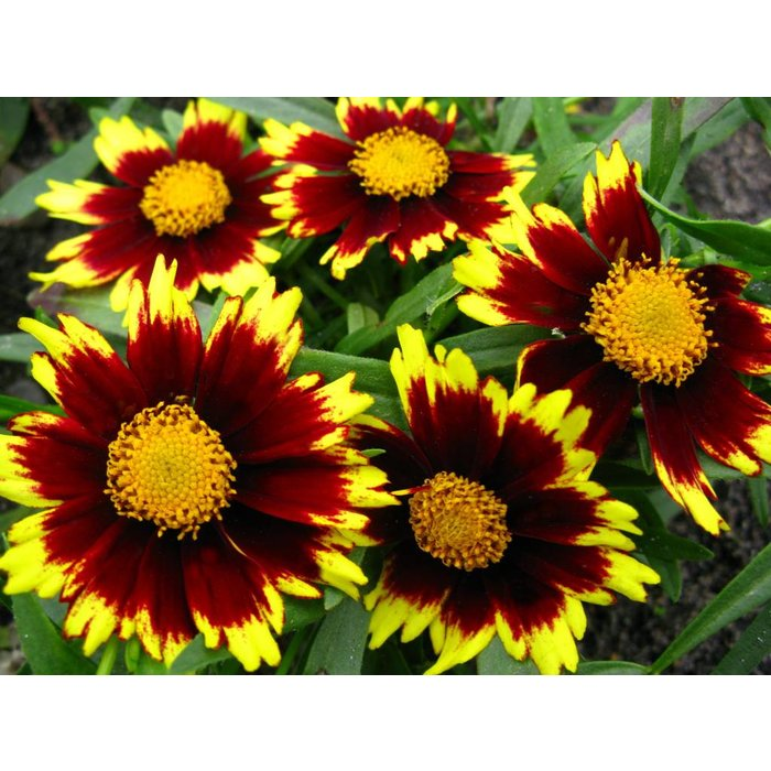 Coreopsis Cosmic Eye 1