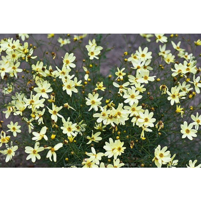 Coreopsis Moonbeam 1