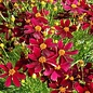 Coreopsis Red Satin Qt