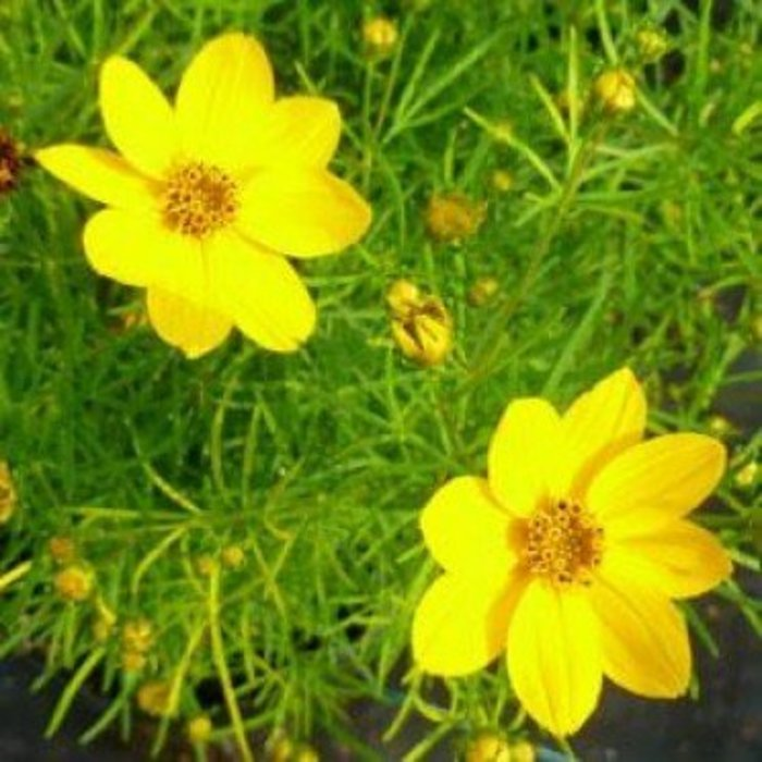 Coreopsis Sylvester 1