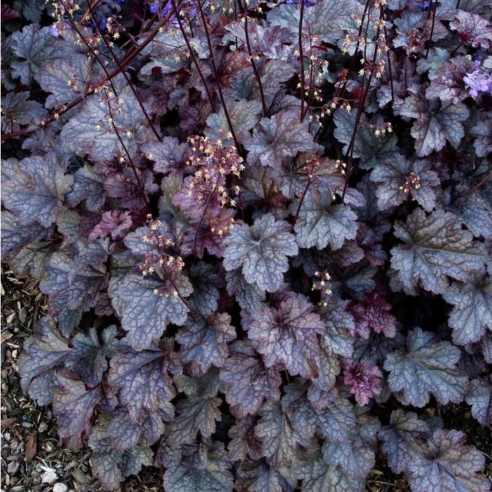 Heuchera Plum Pudding Qt