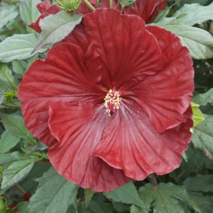Hibiscus Cranberry Crush 3
