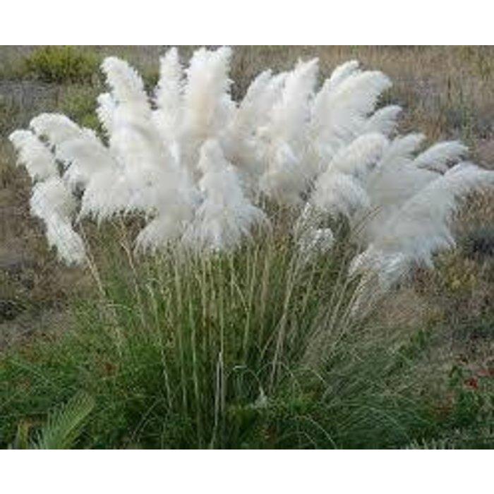 Cortaderia White Pampas 3