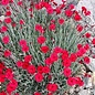 Dianthus Fire Star 1