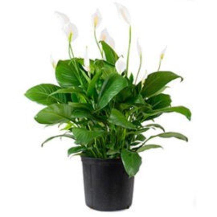 """Spathiphyllum 14"""""""