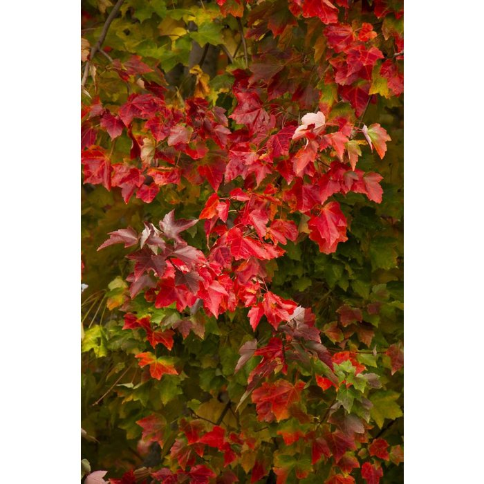 Acer rubrum Red Sunset 15