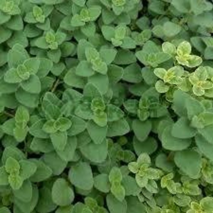 Oregano, Hot & Spicy 4""