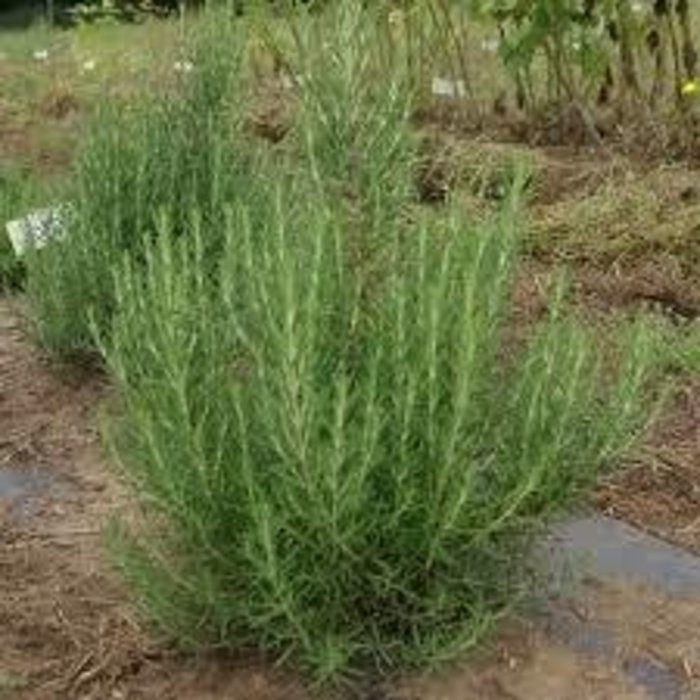 Rosemary, Arp 1