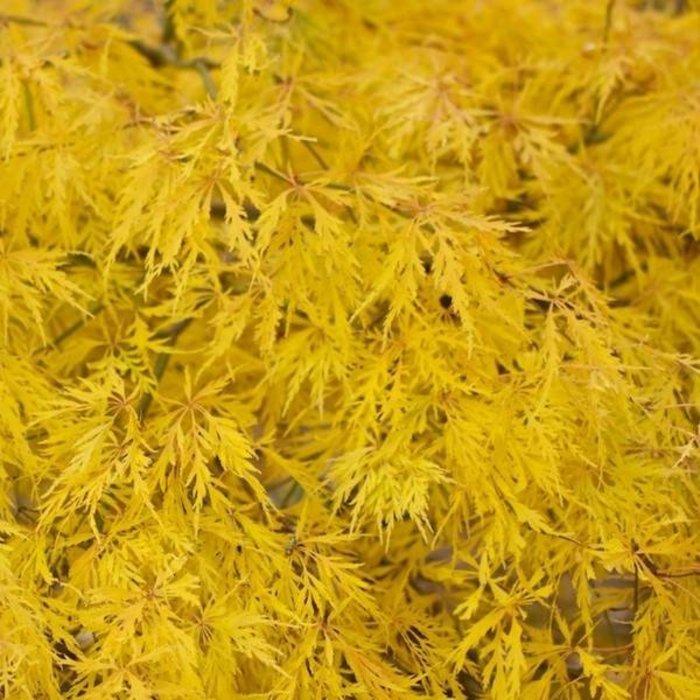 Acer palmatum Dissectum Flavescens 3