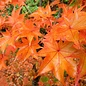 Acer palmatum Hogyoku 7