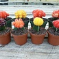 Cactus Grafted Asst Colors 4""