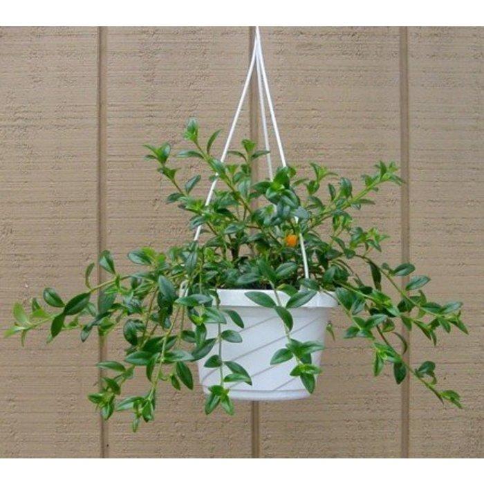 "HB Goldfish Plant 8"""
