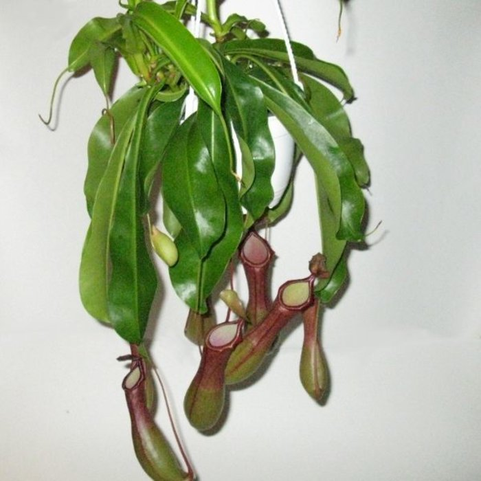 """HB Nepenthes Alata 6"""""""