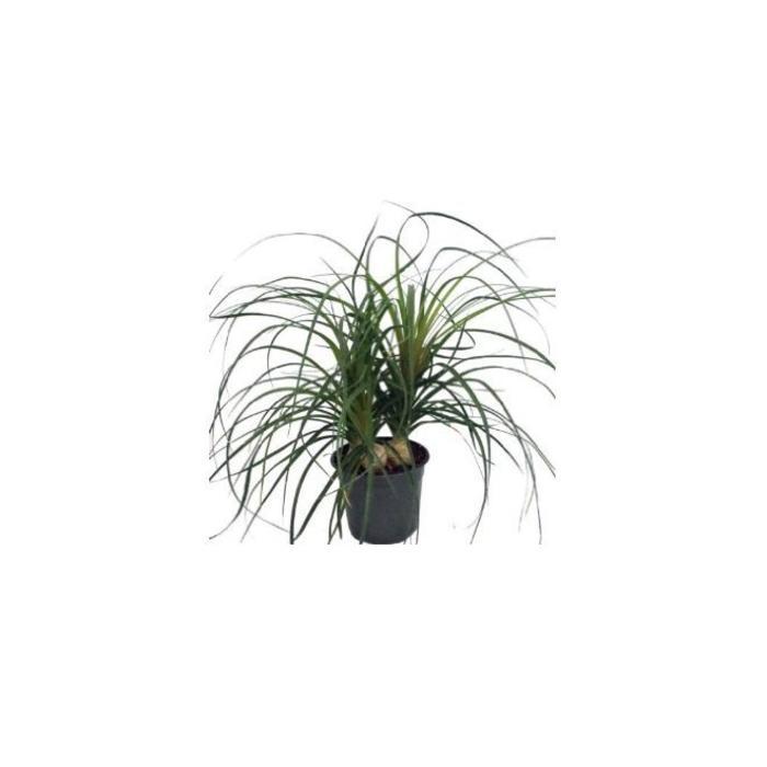 "Palm Ponytail 6"""