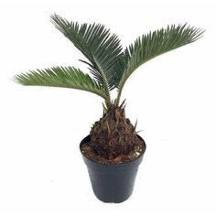 "Palm Sago 6"""
