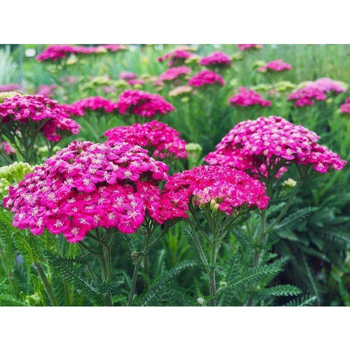 Achillea Saucy Seduction 1