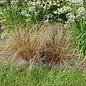 Carex Bronco 1
