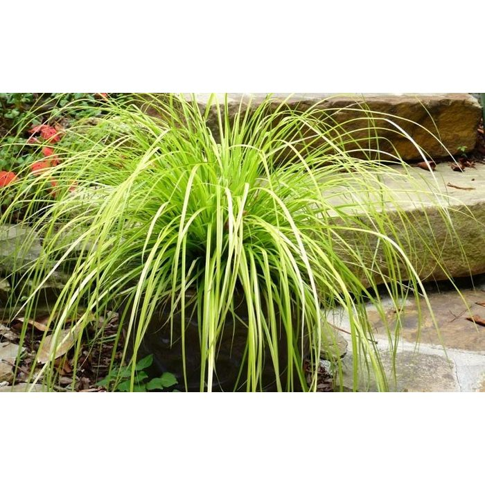Carex Everillo Qt