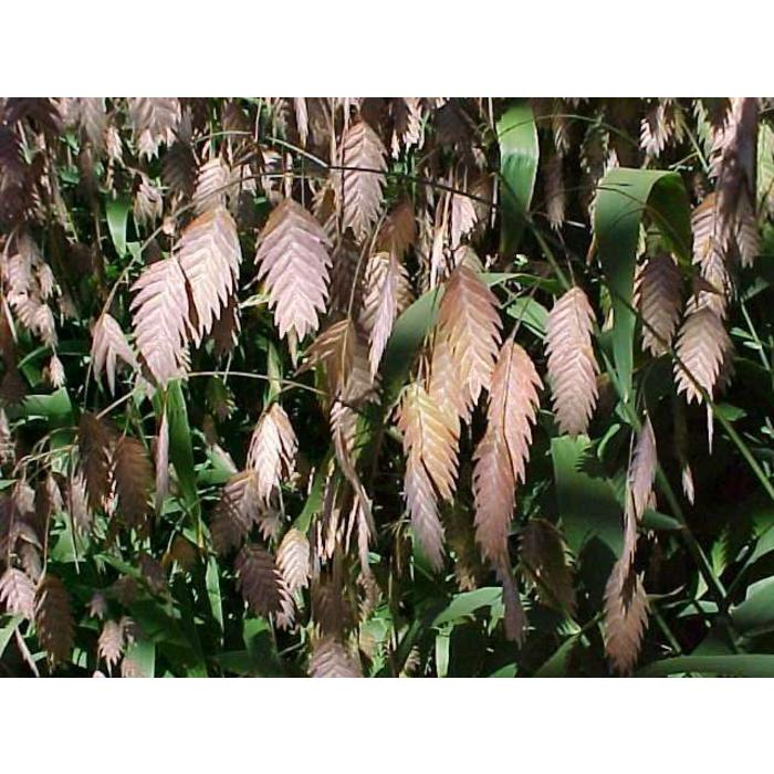 Chasmanthium latifolium Qt