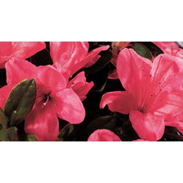 Rhododendron 'Autumn Cheer' 3