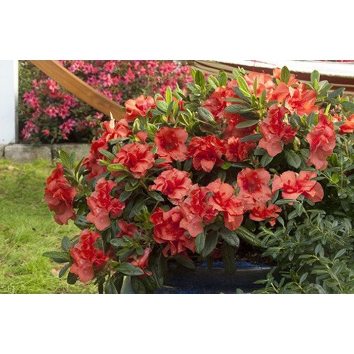 Rhododendron 'Autumn Embers' 3