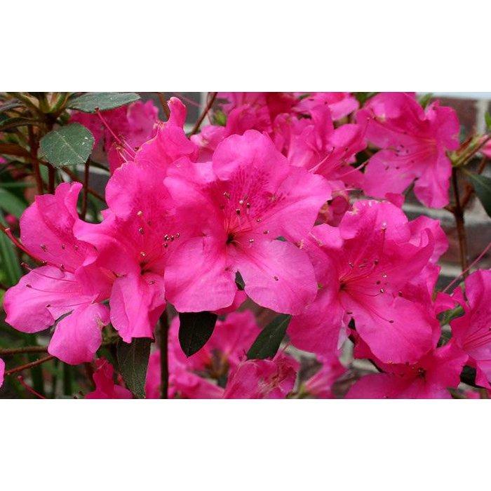 Rhododendron 'Autumn Sangria' 3