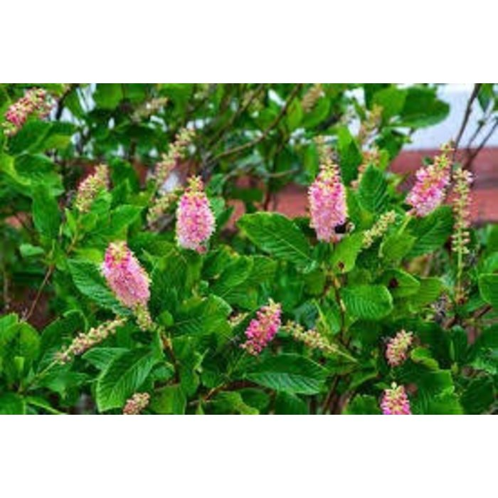 Clethra Ruby Spice 3