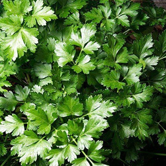 """Parsley, Italian Flat Leaf 4"""""""