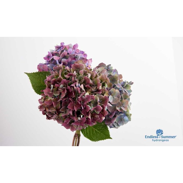 Hydrangea ES Bloomstruck 3