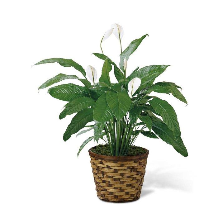 "Spathiphyllum 6"" Basket"